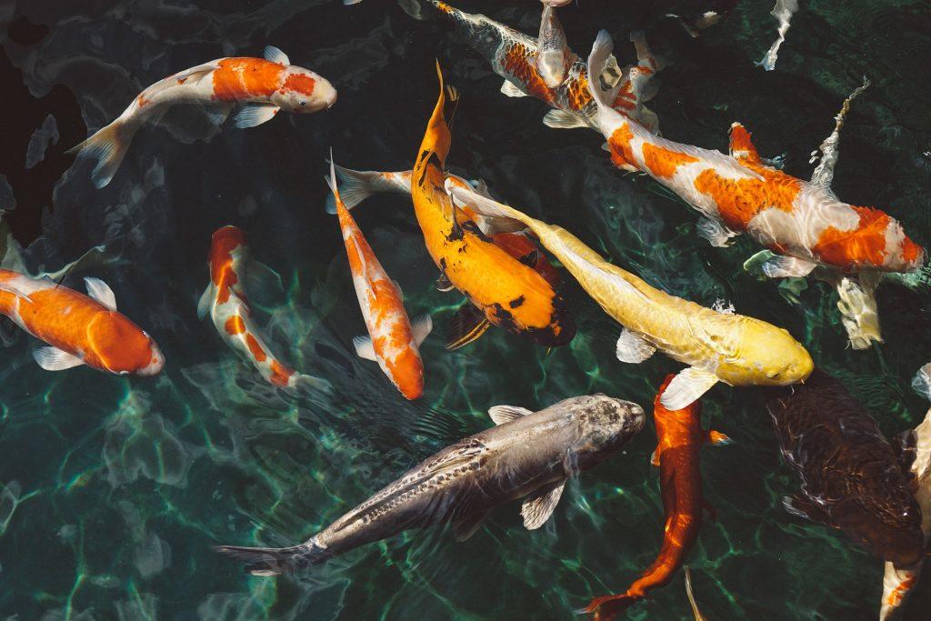 Koi Van Leeuwen vijver & vis